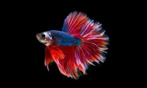 Anakan Ikan Cupang Umur 1 Bulan