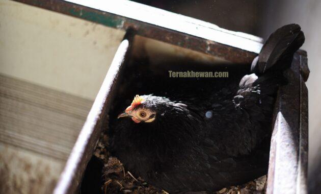 panduan ternak ayam broiler
