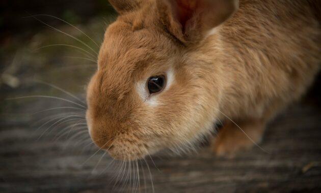 Cara Budidaya Kelinci