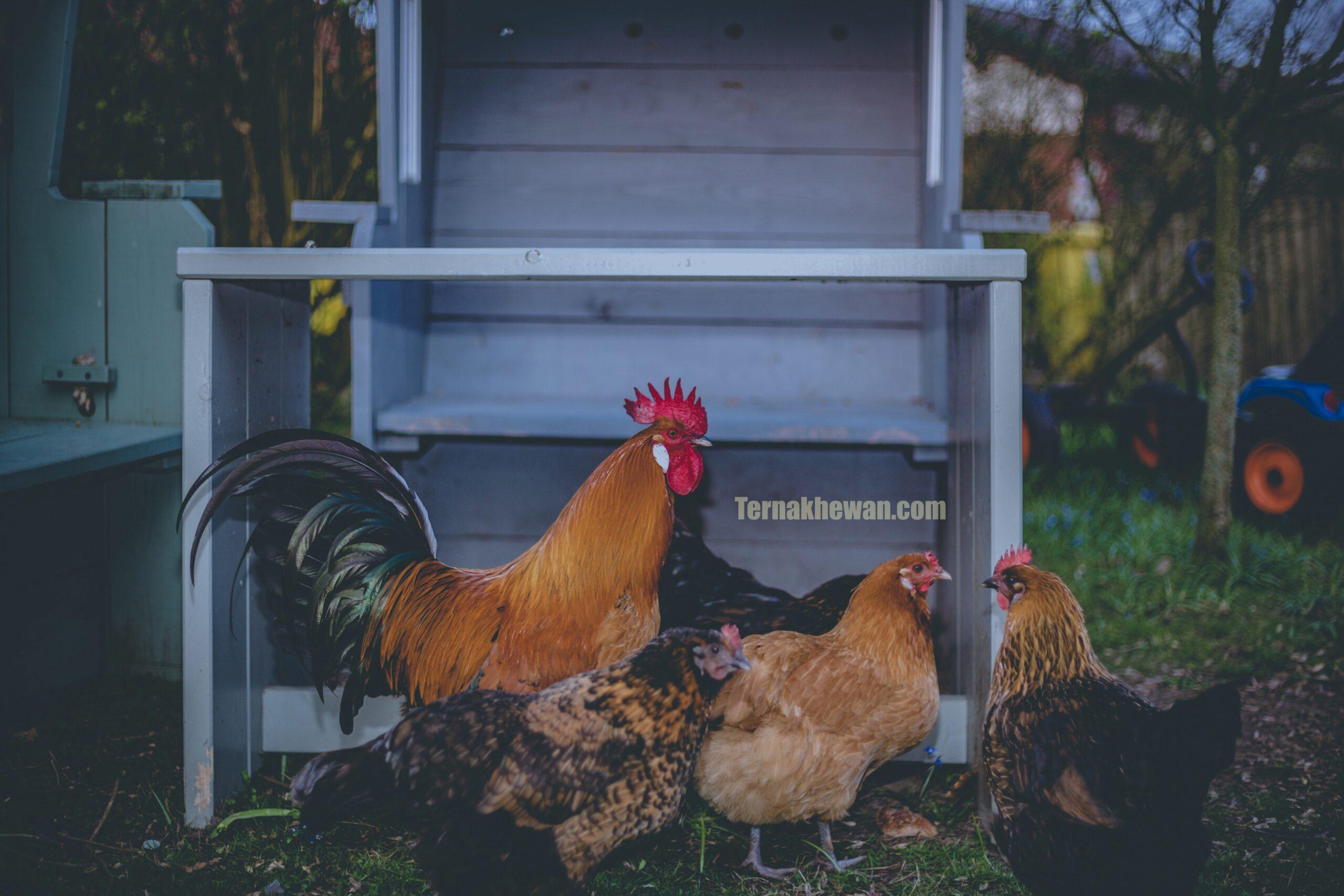 modal bisnis ayam petelur