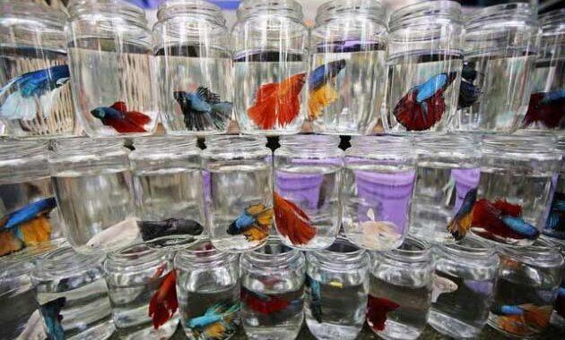 Cara Budidaya Ikan Cupang