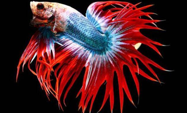 Macam Ikan Cupang Hias