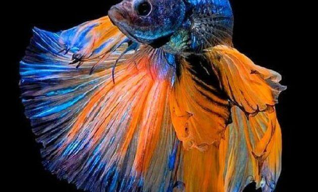 Macam Ikan Cupang