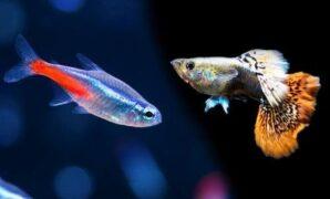 Jenis Ikan Gapi