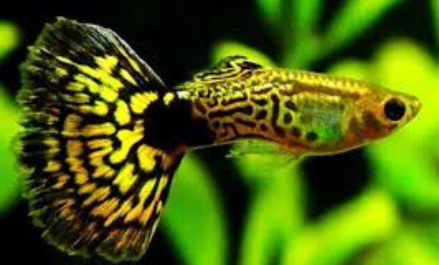 Ikan Gapi