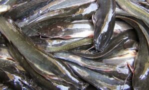 Makanan Ikan Lele