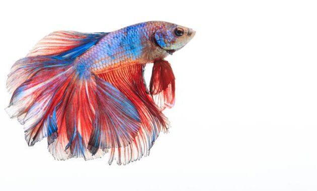 Makanan Ikan Cupang Agar Warnanya Bagus