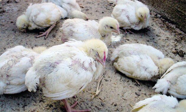 Obat Ayam Sakit