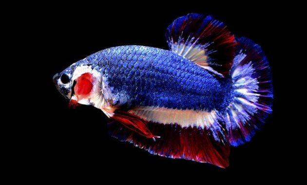 Pakan Ikan Cupang Hias Kontes