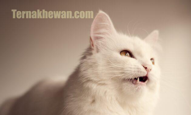 Cara memelihara kucing anggora