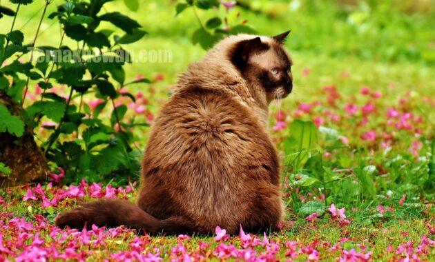 merawat kucing british shorthair