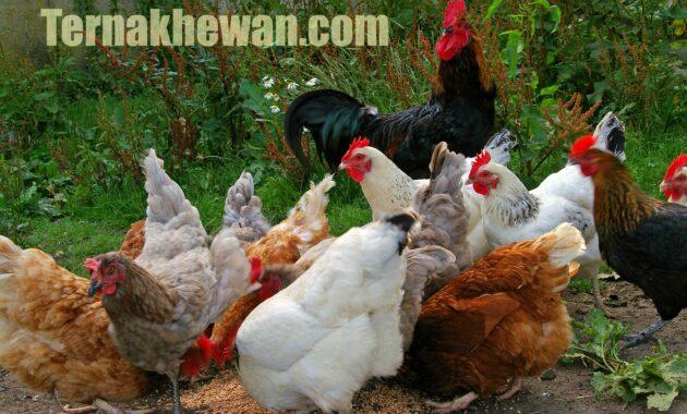 cara memelihara ayam potong
