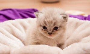 cara perawatan kucing persia