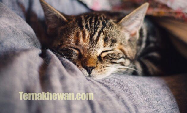 Cara merawat anak kucing umur 2 bulan