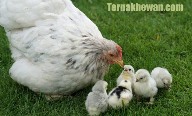 cara memelihara ayam broiler