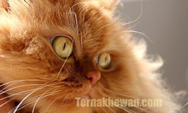 Cara merawat kucing ras