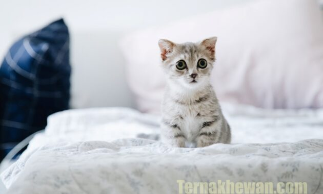 Makanan terbaik untuk anak kucing