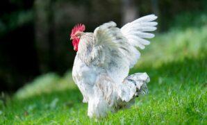 cara ternak ayam broiler yang menguntungkan