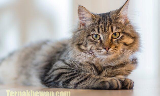 Cara mengatasi kucing mencret