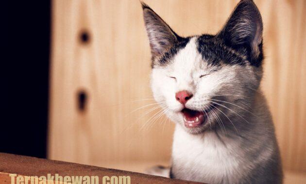 merawat anak kucing 1 bulan