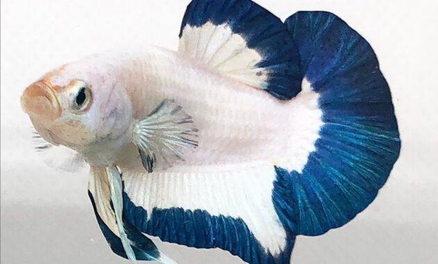 Ikan cupang blue rim panda