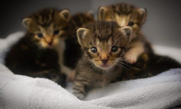 Makanan untuk anak kucing baru lahir