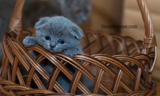 Makanan untuk anak kucing 2 bulan