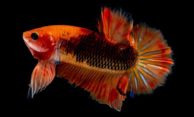 Ikan cupang giant multicolor