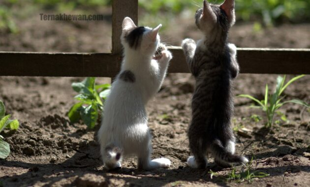 Merawat anak kucing kampung