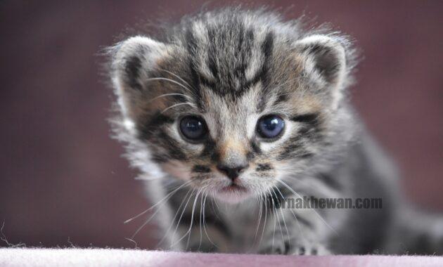 Perawatan kucing baru lahir