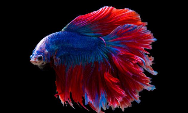 Ikan cupang jenis halfmoon