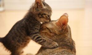 merawat kucing menyusui