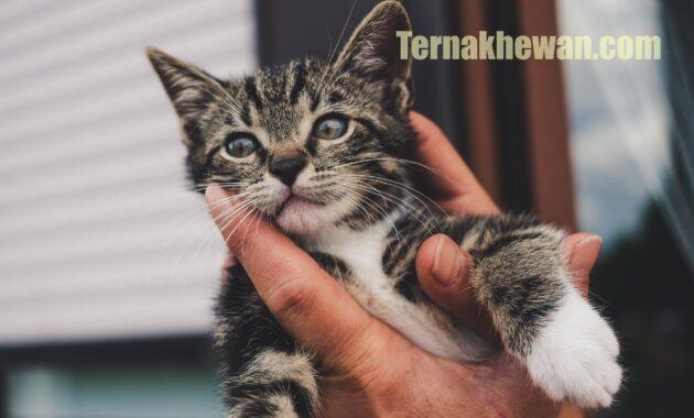 Resep susu untuk anak kucing