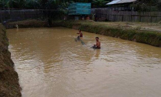 Biaya pembuatan kolam ikan gurame