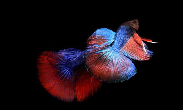 Jenis ikan cupang hias dan harganya