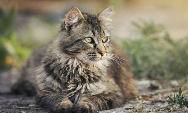 Makanan untuk kucing hamil