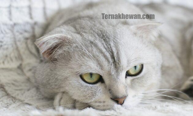 Cara mengobati kucing demam