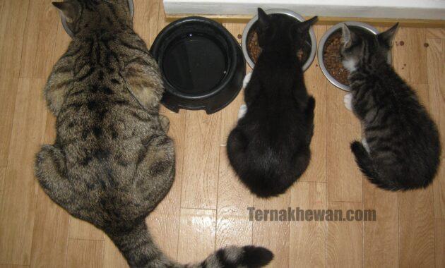 Makanan untuk kucing 1 bulan