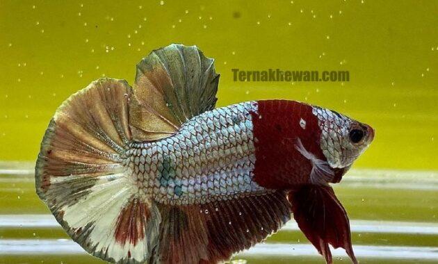 Ikan Cupang Cooper