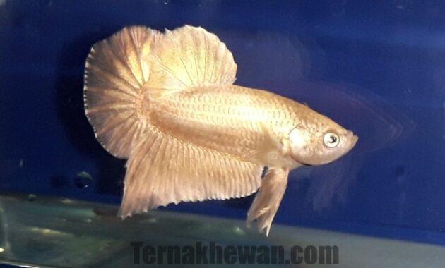 Ikan cupang super gold
