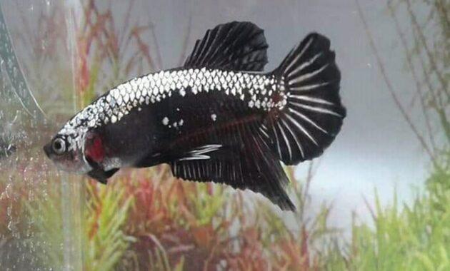 Ikan Cupang Black Samurai