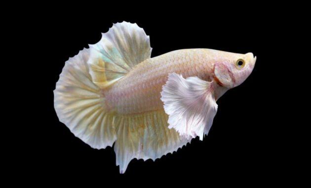 Jenis ikan cupang yang mahal
