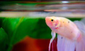 Ikan cupang tidak mau makan
