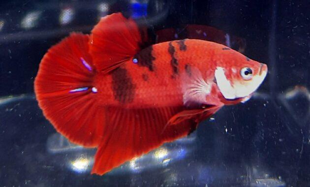 Ikan Cupang Red Koi